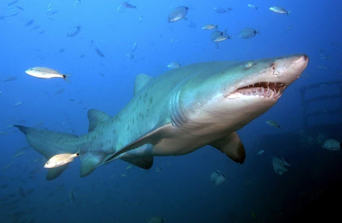 Картинки быковой акулы