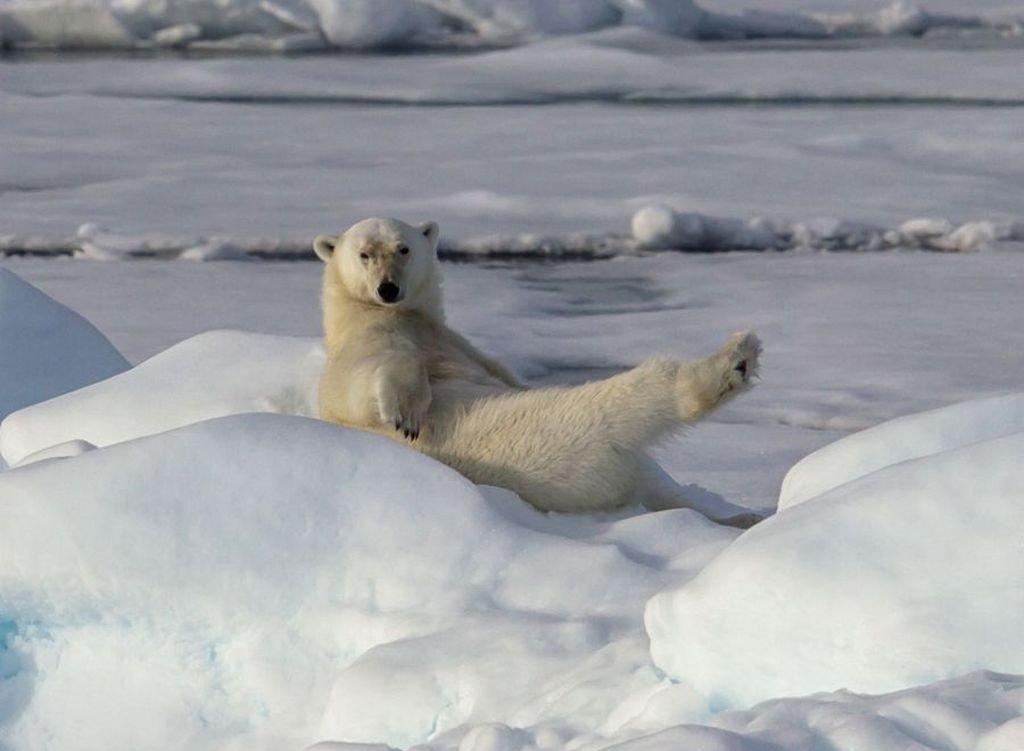 Веселые картинки белые медведи, сорокалетием для мужчины