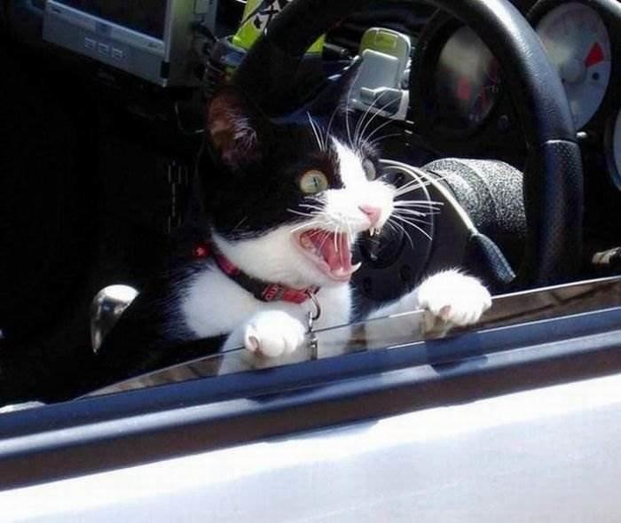 Прикольные картинки коты с надписями за рулем, днем