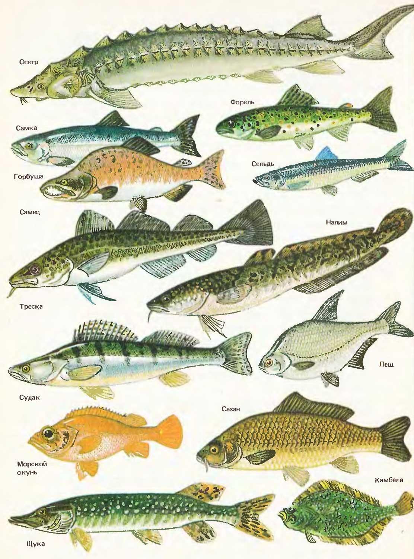 Каталог рыб с картинками