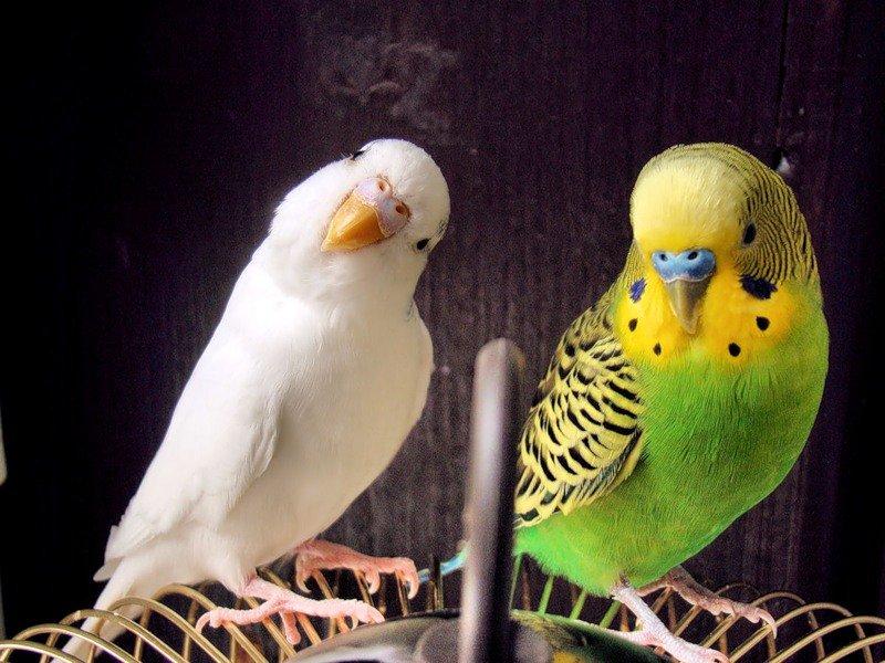 призма для расцветки волнистых попугайчиков фото спалили заветное