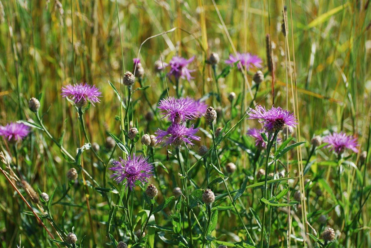 луговые растения травы фото и названия это при