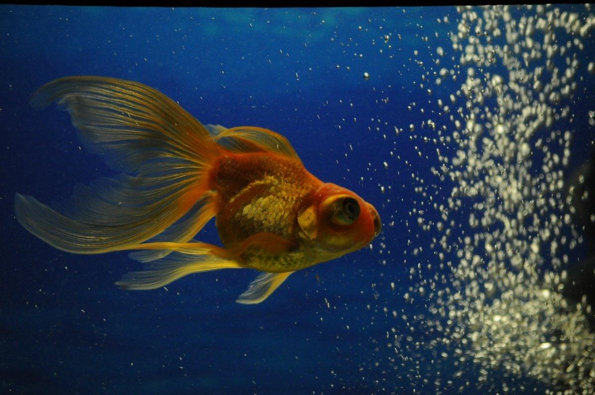 Картинки золотых рыбок рыбок красивые, рамки
