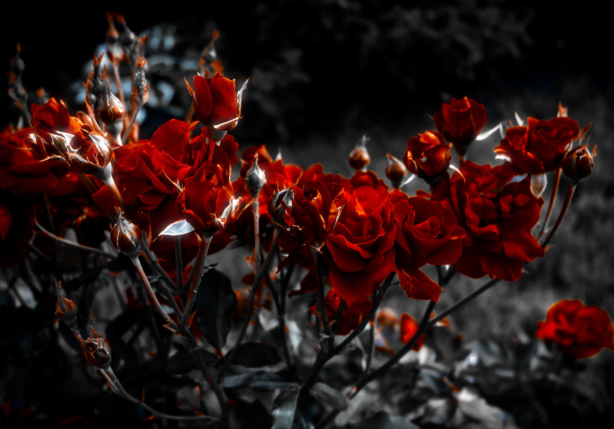 Фото цветов бордового цвета