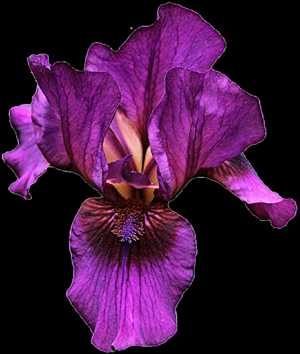 iris clipart violet pencil and in color iris clipart viole card rh yandex com Iris Background Clip Art Flower Clip Art