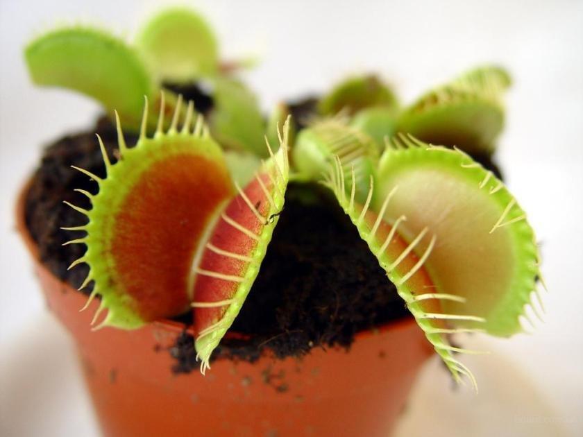 Оптом, купить растение которое ест мух