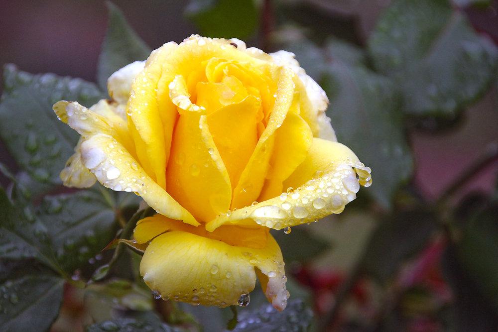 желтые розы фотографии название