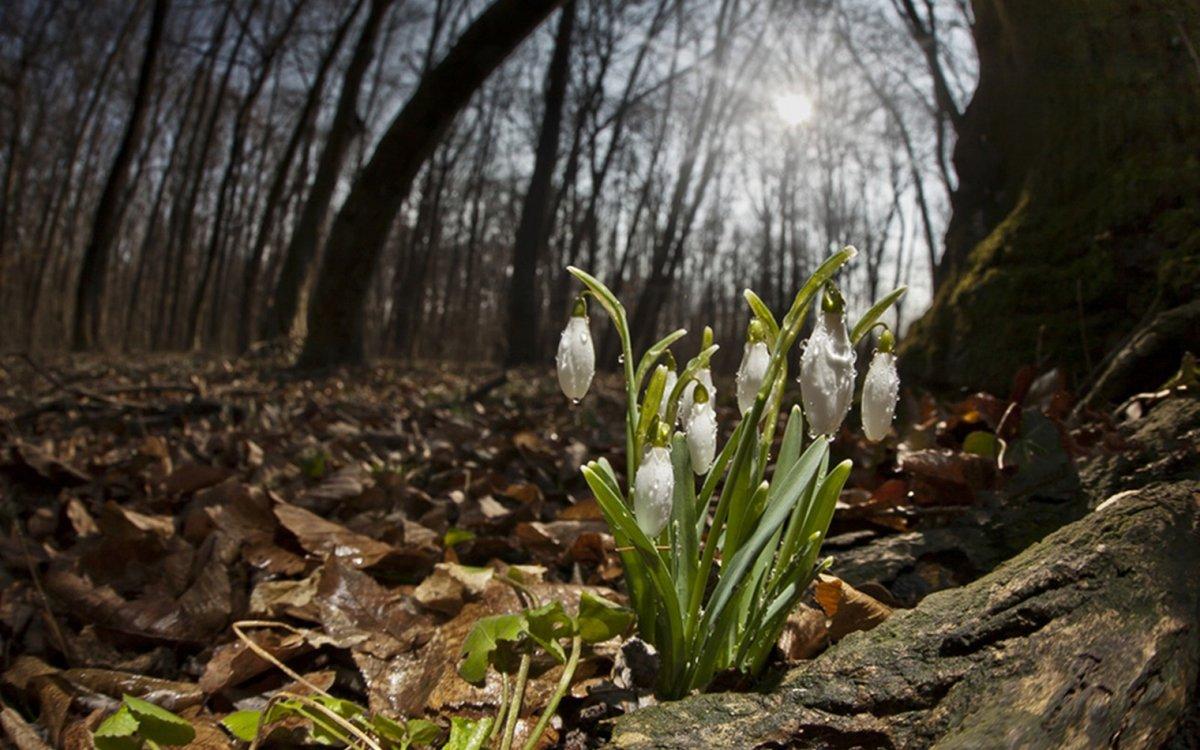 была картинки весенний лес подснежники оно настоящее