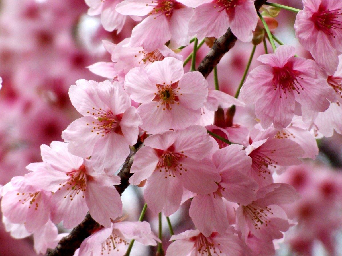 Поздравляю приобретением, открытка цветущая вишня