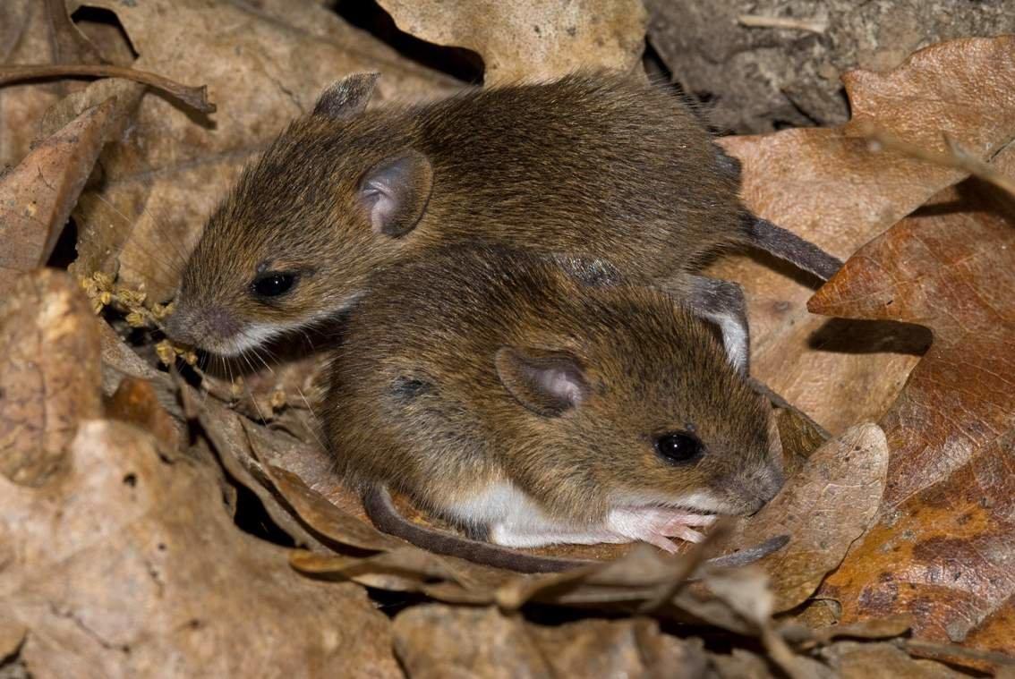 Картинки мышки полевой