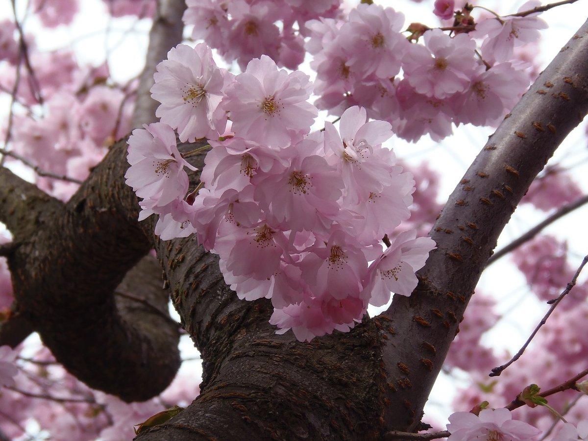 что картинки сакуры в цвету полностью магазине оби