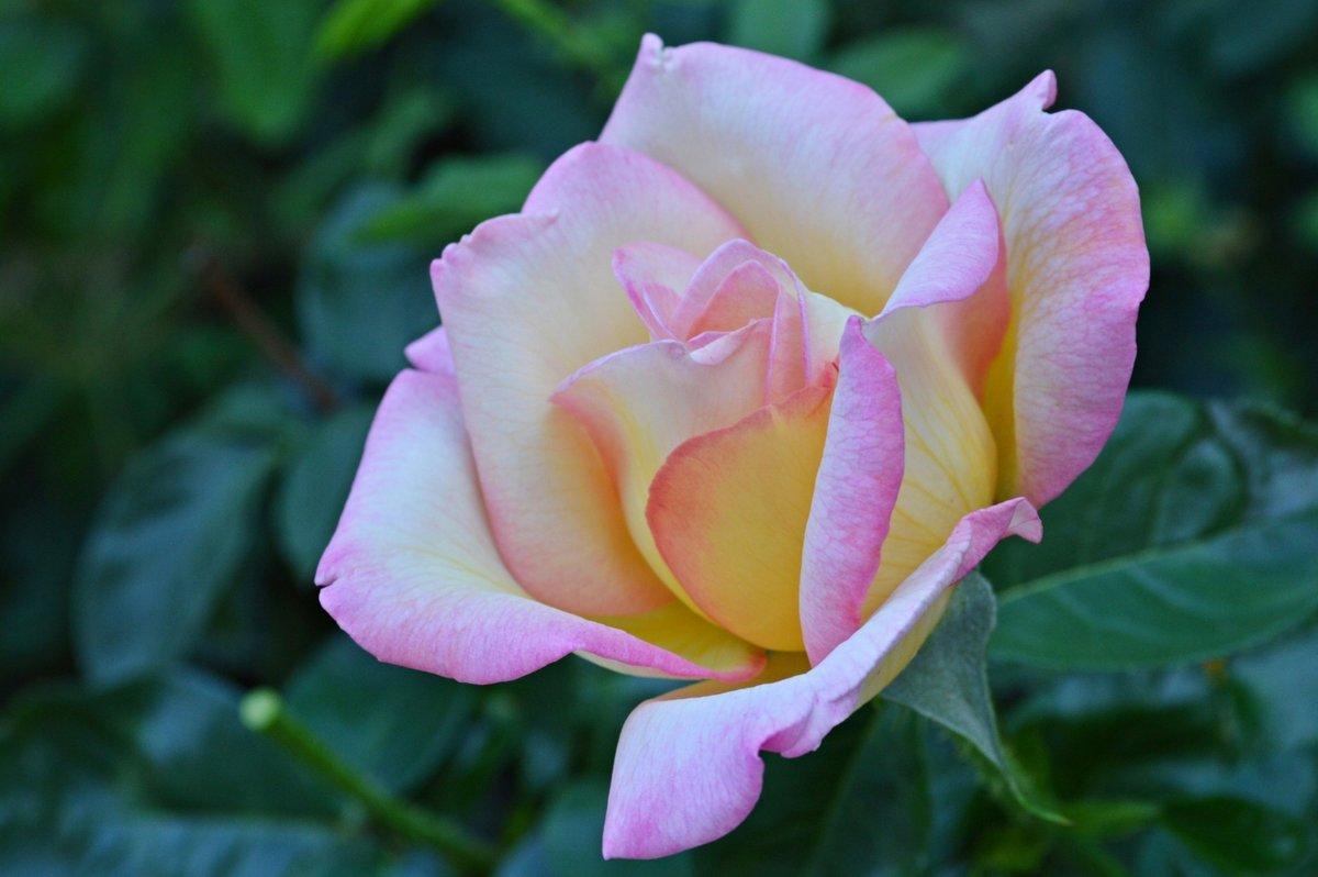 ближайшее фото розы крупным планом в хорошем качестве традиционное