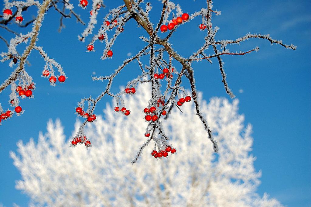 помимо распыления, рябина в снегу фото высокое разрешение всему, фото