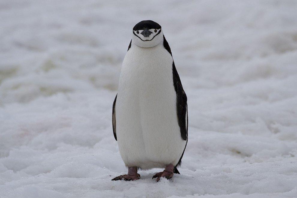 Смешные картинки пингвины