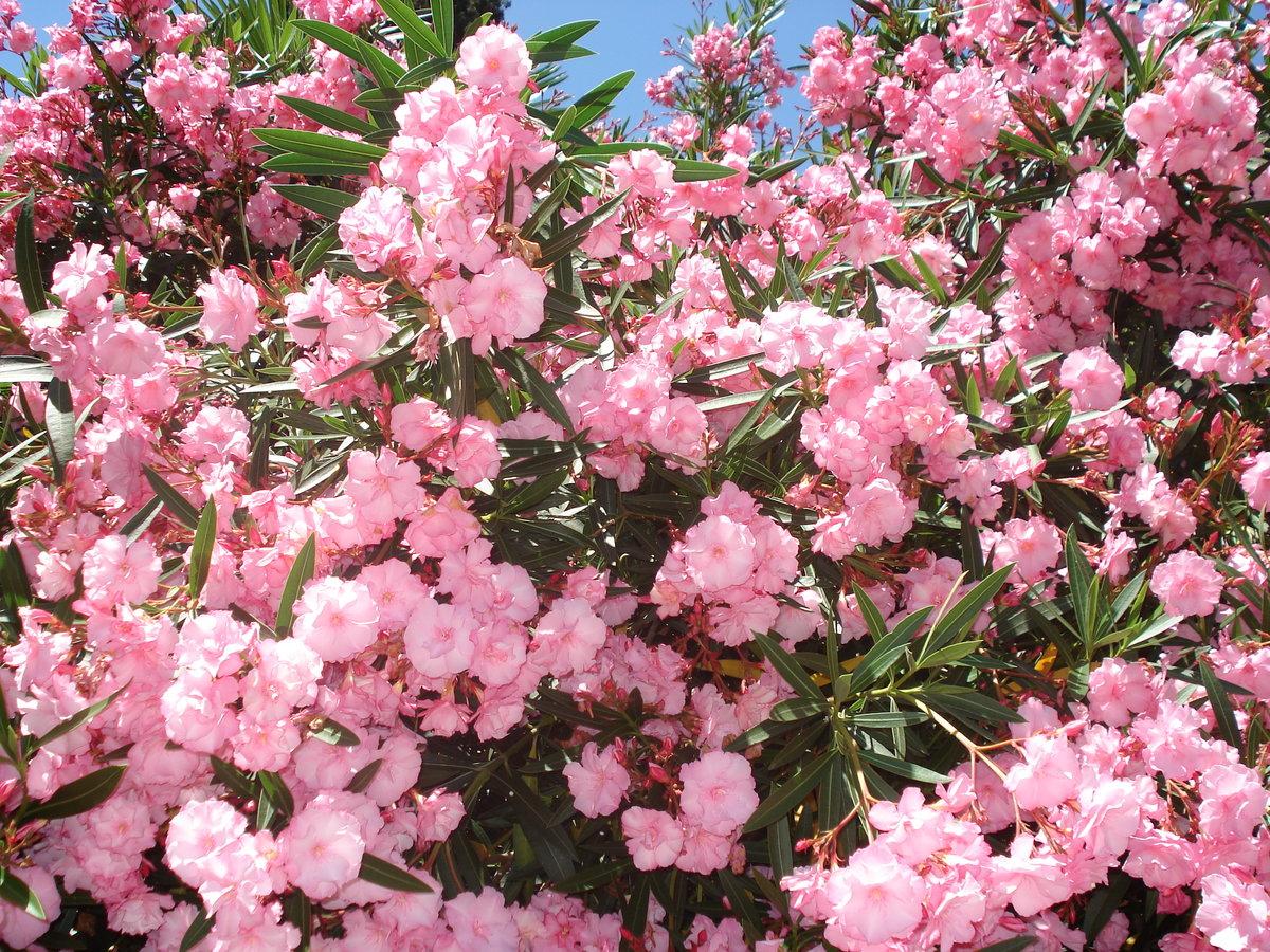 масса подается южные кустарники цветущие фото оформленная