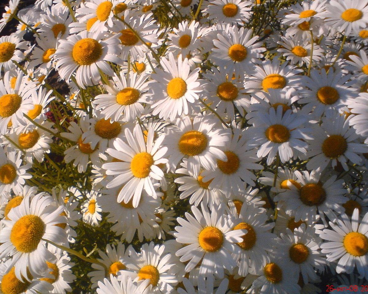 переделать фото открытки цветы ромашки эти