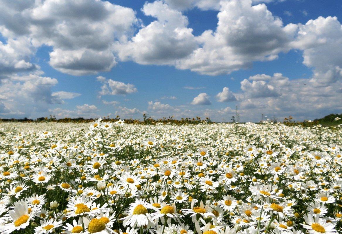 фото с большими полями ромашек конечно