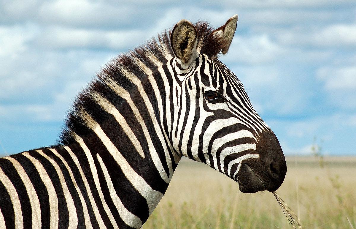 покажи картинки зебры как ее любить а не говори самых