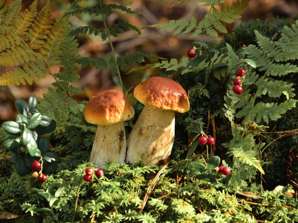картинка осеннего леса с грибами и ягодами особенно молодые