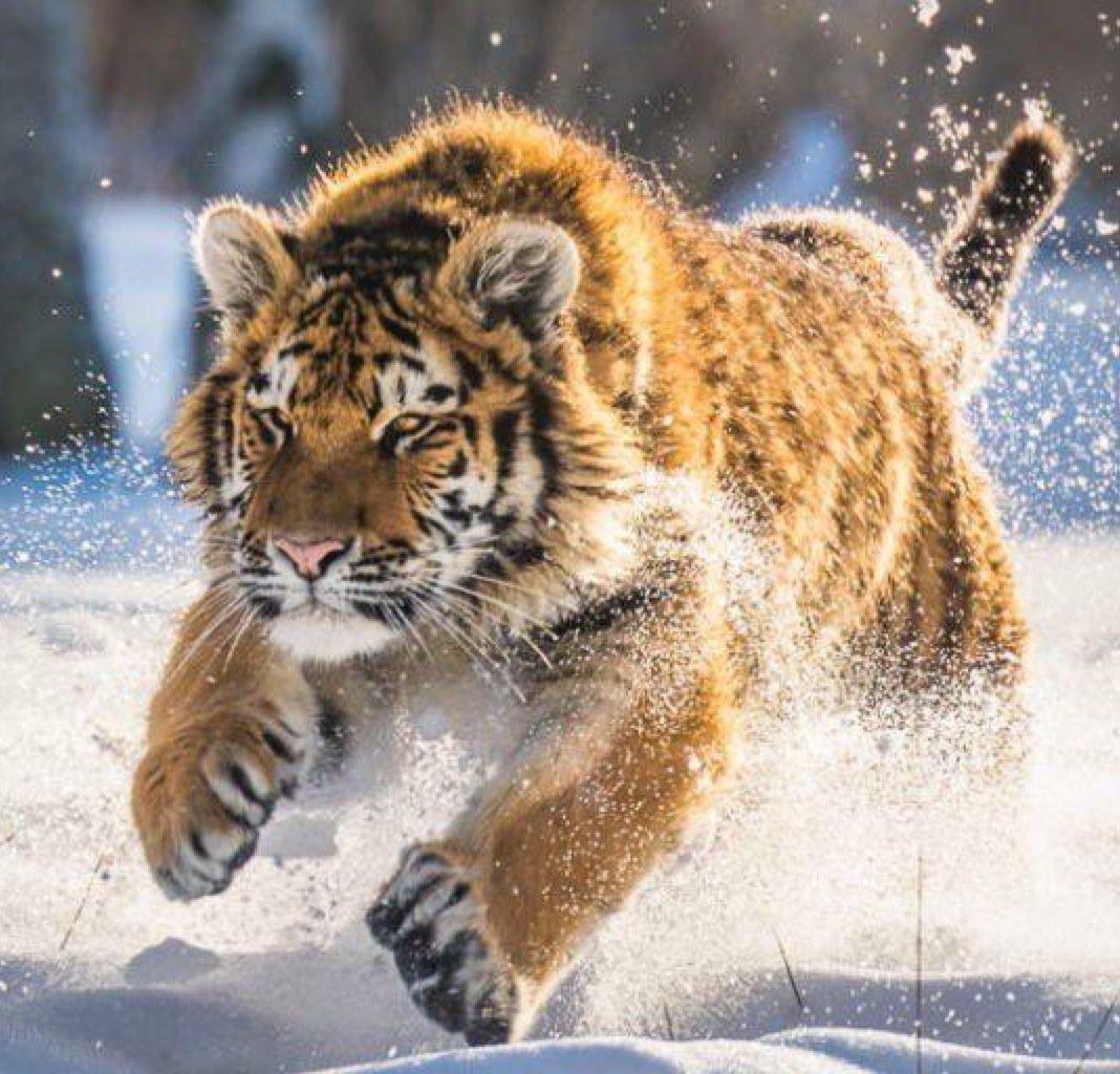Siberian Tiger quotChiaroscuroquot Inspiration t Siberian ti