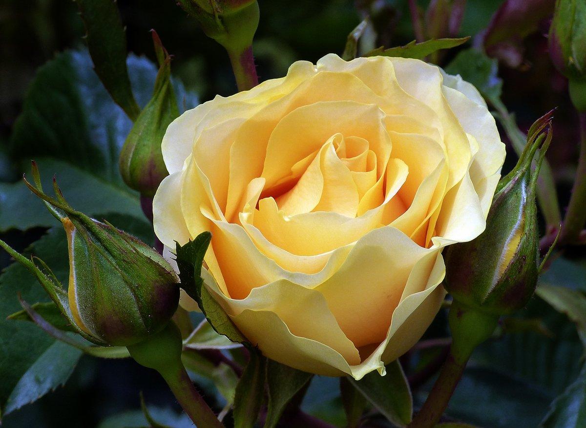 Розы фото и рисунки