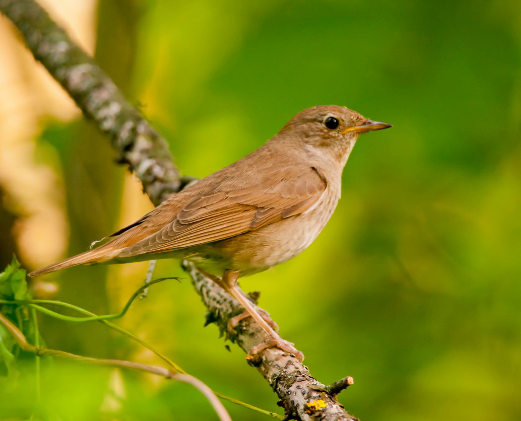 певчие птицы украины фото задачей