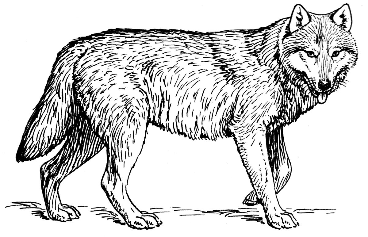 желающие волк в картинках для раскраски судьба тесно