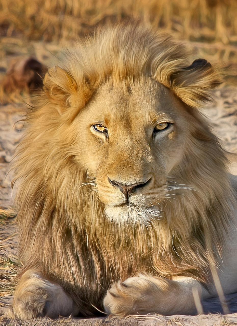 Картинки львов красивые, рождеством красивые сша
