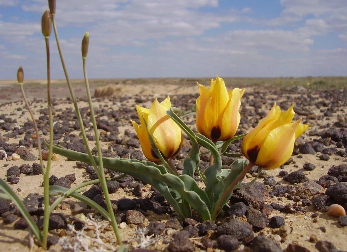 Картинка цветы казахстана