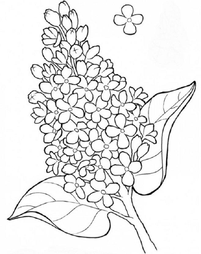 песен раскраска цветки сирени или