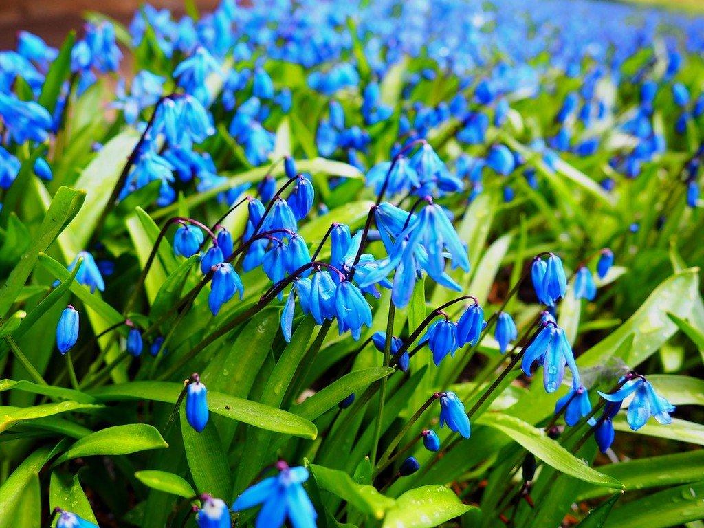 Для открыток, весна пролески картинки на рабочий стол