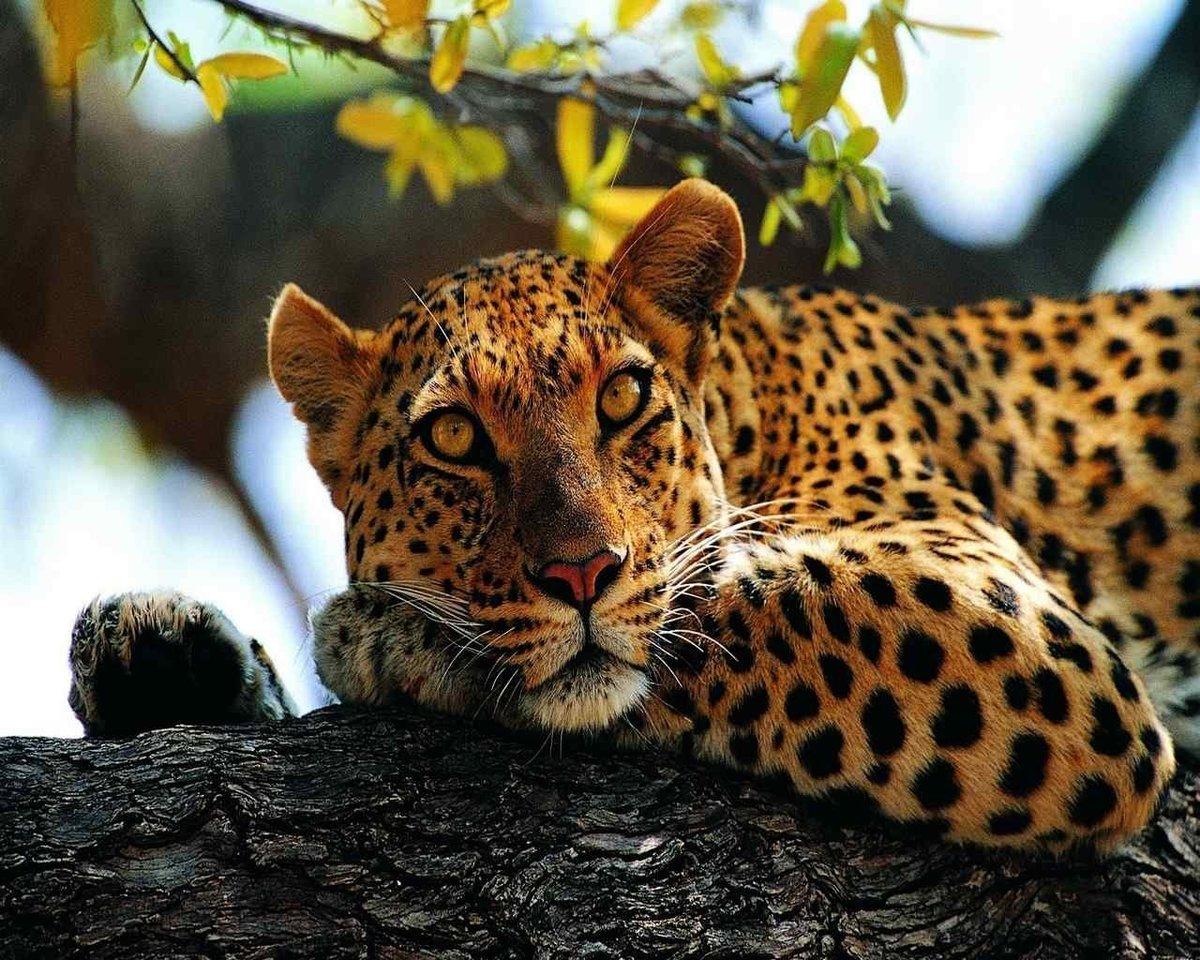 Крутые картинки леопардов