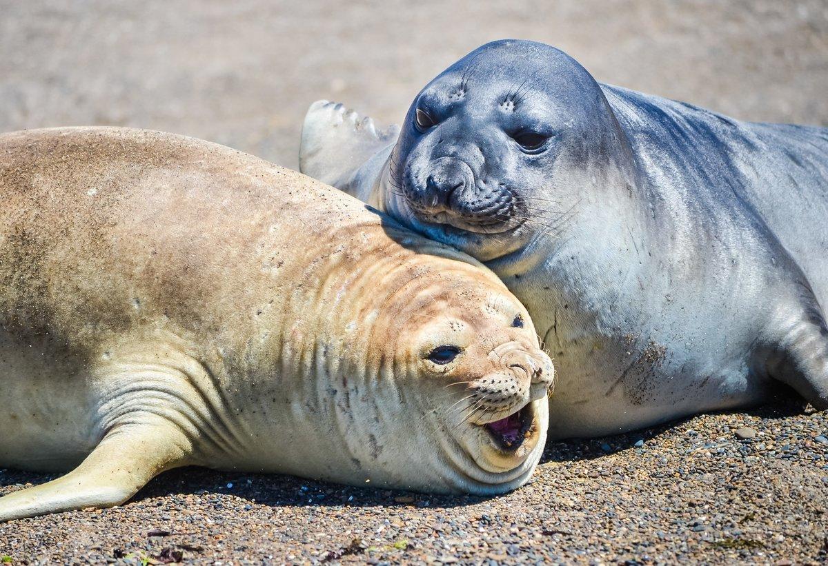 фото морского слона животное таким