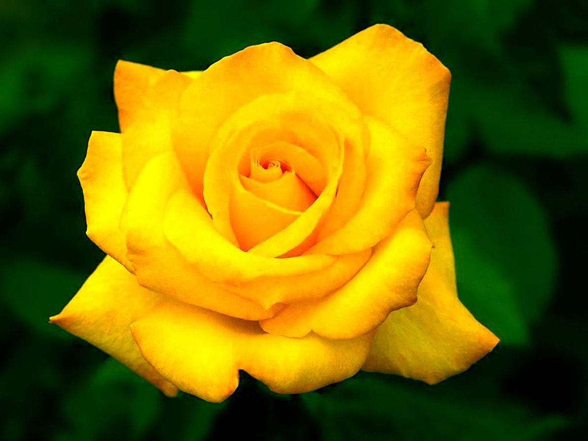 Картинки желтая роза, больше вечеринок картинки