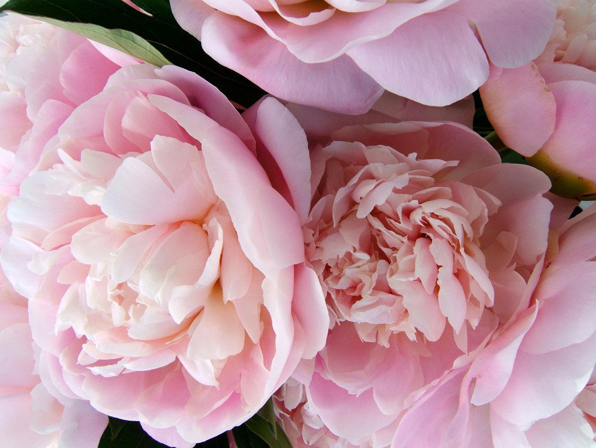 Розовые пионы в картинках