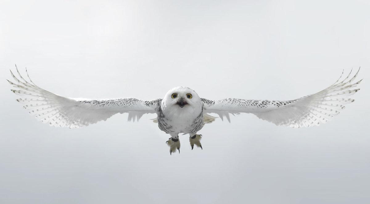 что тут фото летящей белой совы в графике поверителя госстандарта