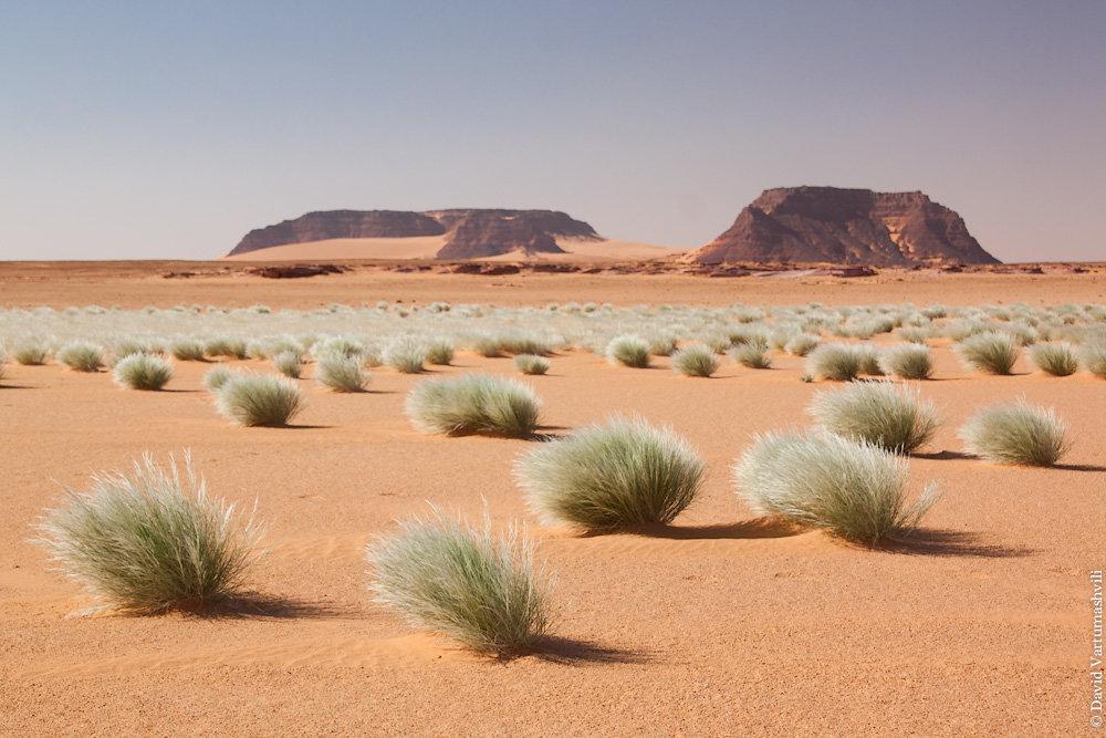 sahara desert plants - 1000×667