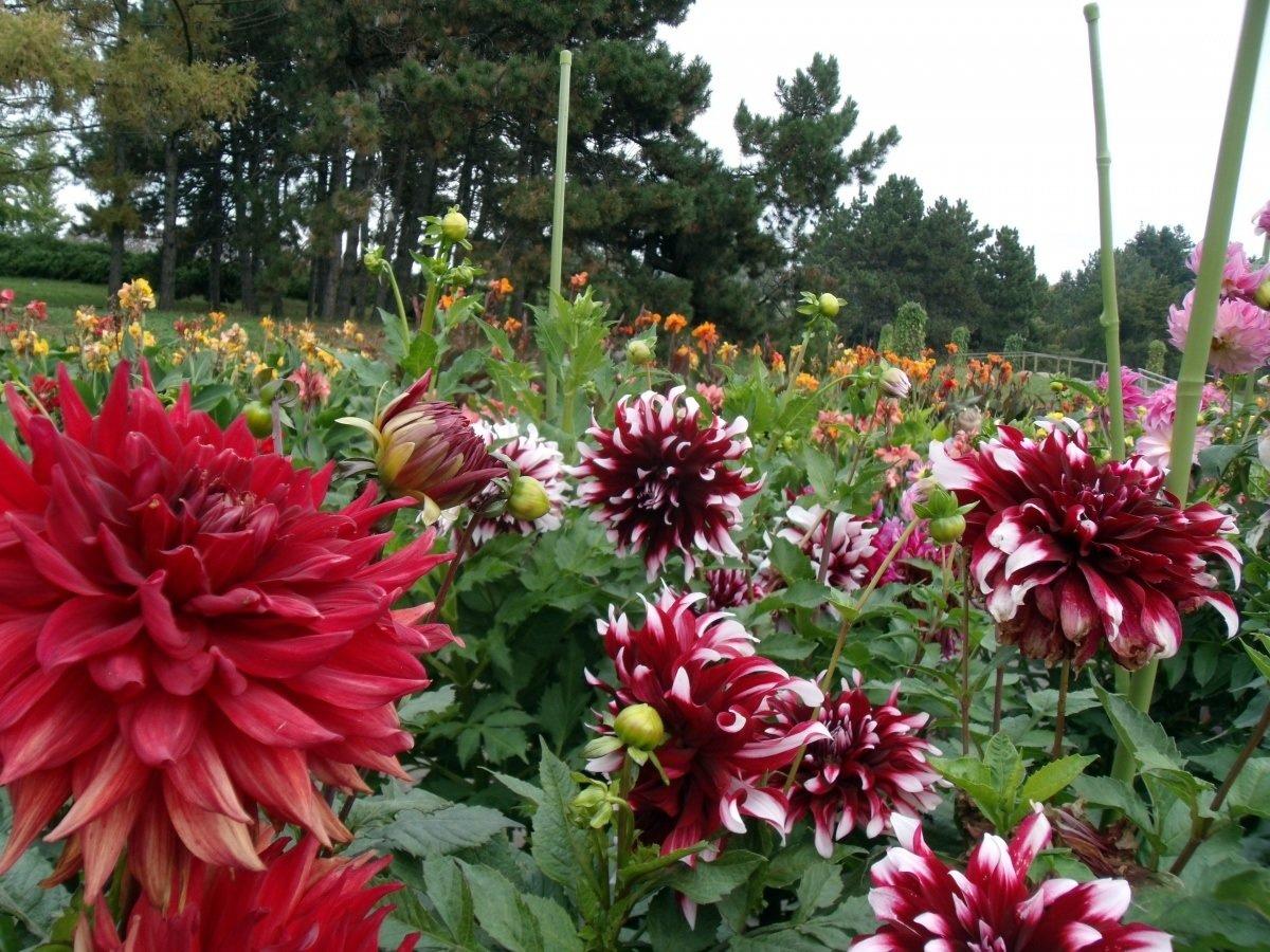 если георгин фото цветов в саду фотографии города