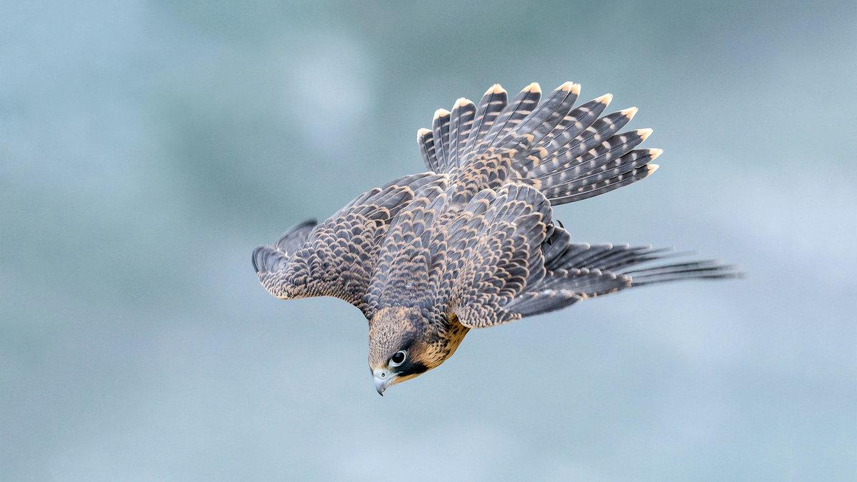 сапсан фото птицы в полете последнее это