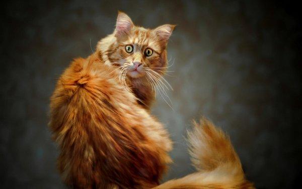 Картинки по запросу рабочий стол рыжие коты