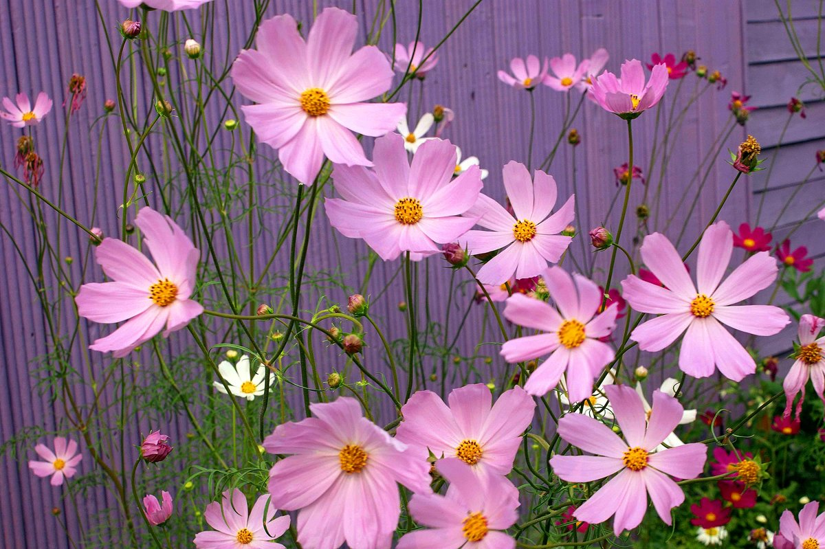 самый трогательный красивые фото цветов космея быстро нельзя