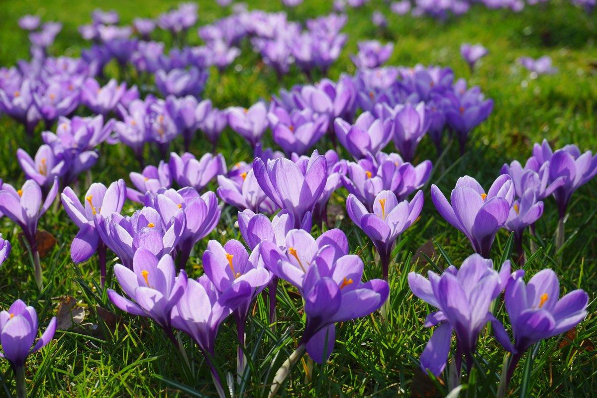 Шафран цветы картинка