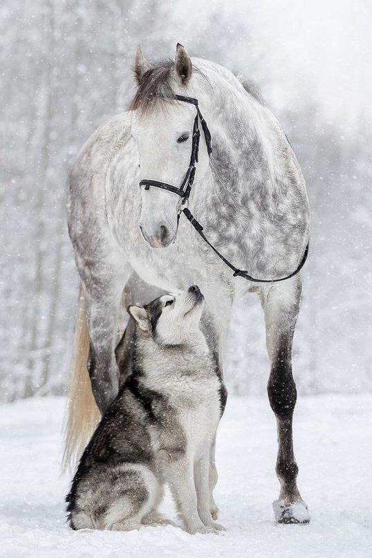 Красавцы#лошадь_и_хаски #белая_лошадь #horse #животные #Аляскинский_маламут  #Самые_Милые_Животные #Красота_планеты #живая_природа