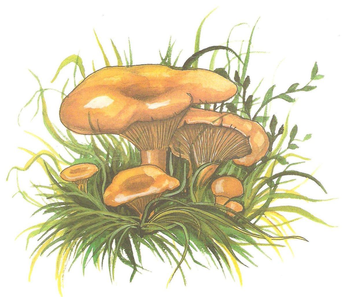 Картинки нарисовать гриб лисичку