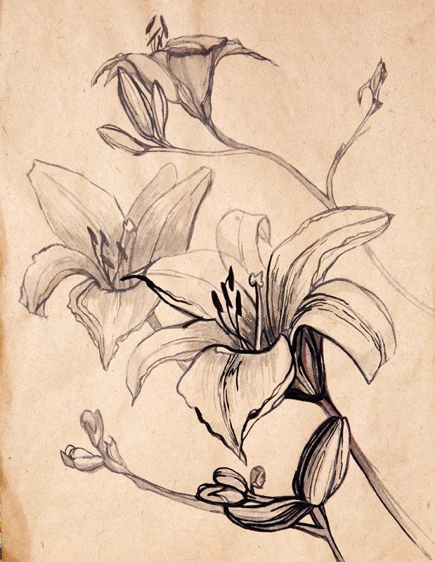 Картинках, лилии рисунок
