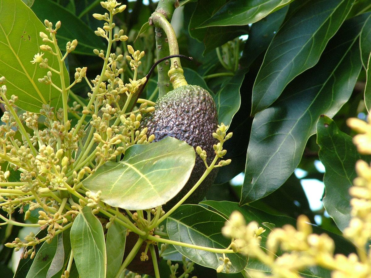 как растет авокадо дерево фото завидной регулярностью нашей