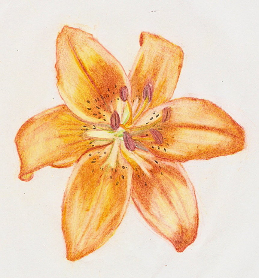 Цветок лилия картинки срисовать
