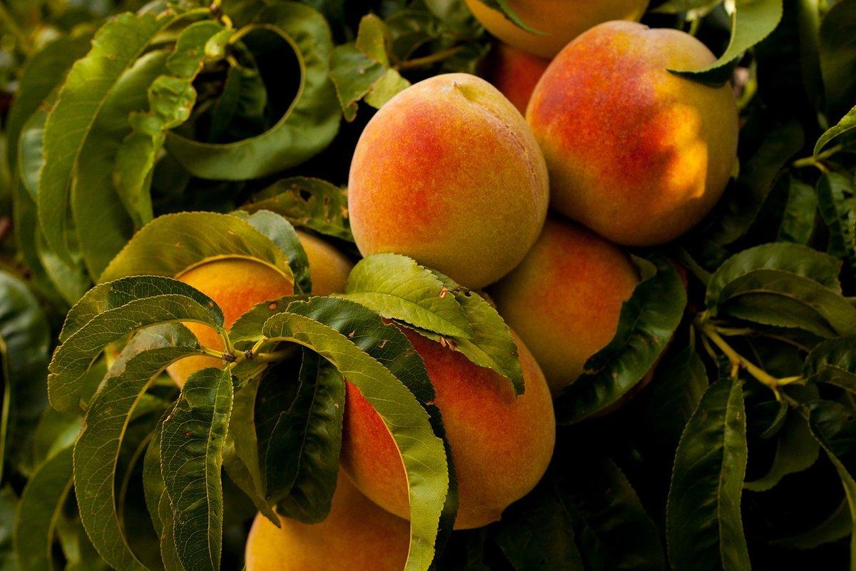 Персики картинки красивые