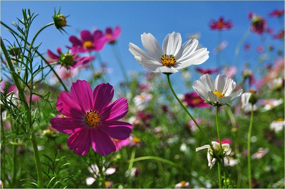 красивые фото цветов космея домики бруса прекрасный