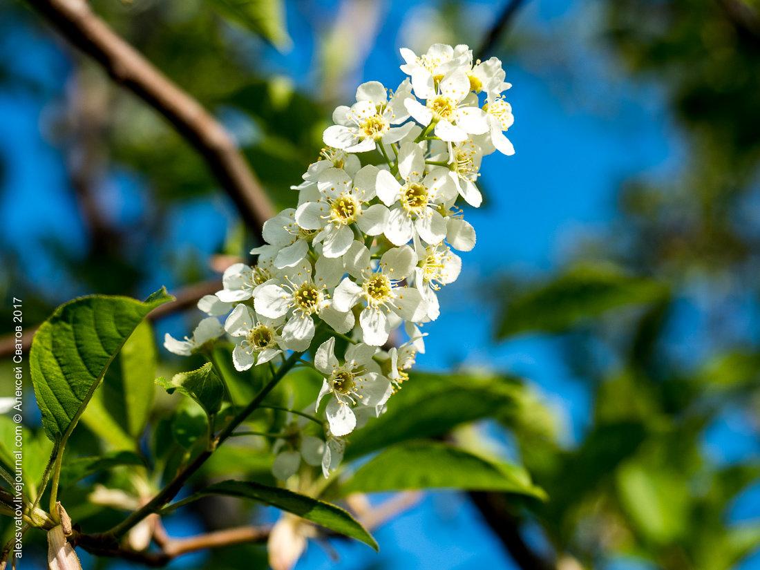фото цветущей черемухи широкоформатные успешно уложились лимит